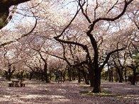 【催行決定】1700本の桜🌸を小金井公園で♪ 隠れ人気スポット江戸東京たてもの園 ほっぺが落ちる本格中国料理コース💚