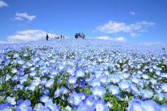 【催行決定】感動体験💖450万本のネモフィラ💖青い空、青い海、青い花の絨毯♪ 素朴な家庭料理ブッフェとイチゴ狩り