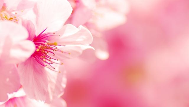 花より団子?私はどっちも大好き🎵 三浦半島で河津桜とマグロを満喫🌸 早咲きの河津桜と菜の花の競演がステキ💖 【女性限定バスツアー】